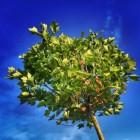 Koning � Koningsboom