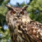 De Oehoe in Nederland, zijn uilen gevaarlijk voor mensen?
